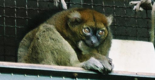 Broad-nosed Gentle Lemur