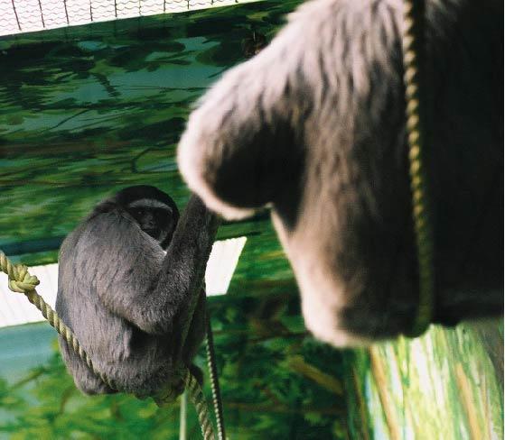 Moloch Gibbon